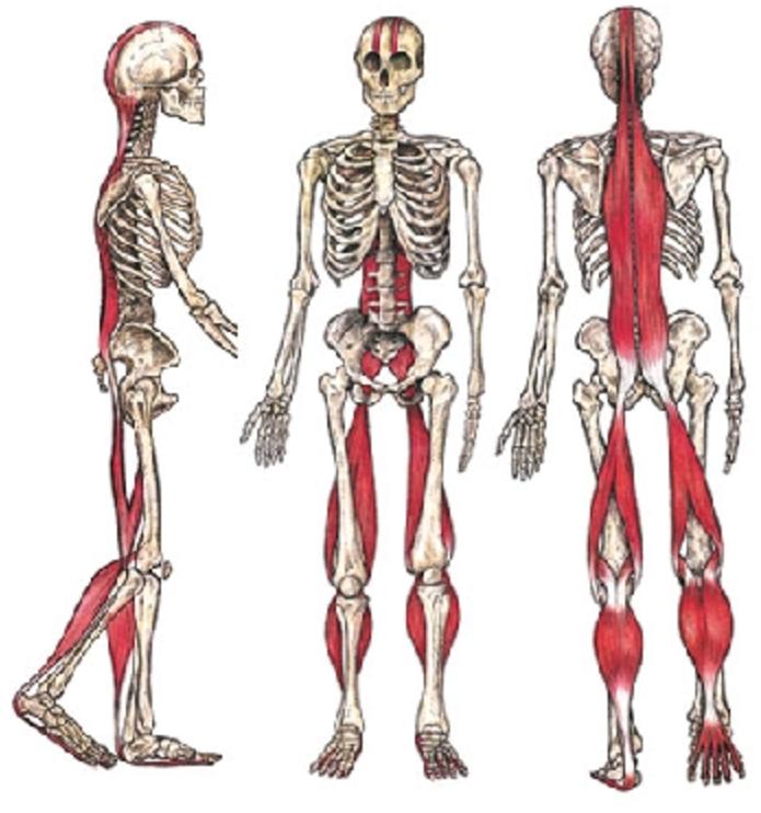 catena muscolare posteriore muscoli posteriori allungamento muscolare muscoli accorciati mal di schiena nadia forte schiena forte